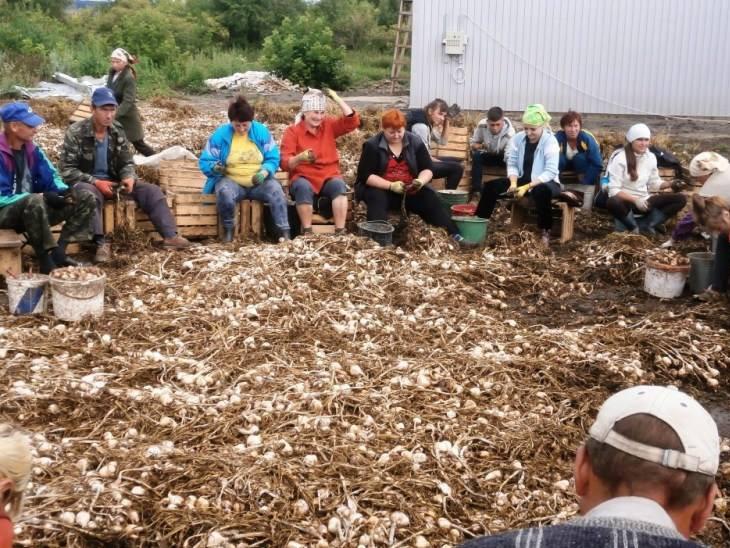 Насіннєвий Завод Часнику - одна з провідних компаній України, що спеціалізується на вирощуванні офіційного сертифікованого насіння часнику