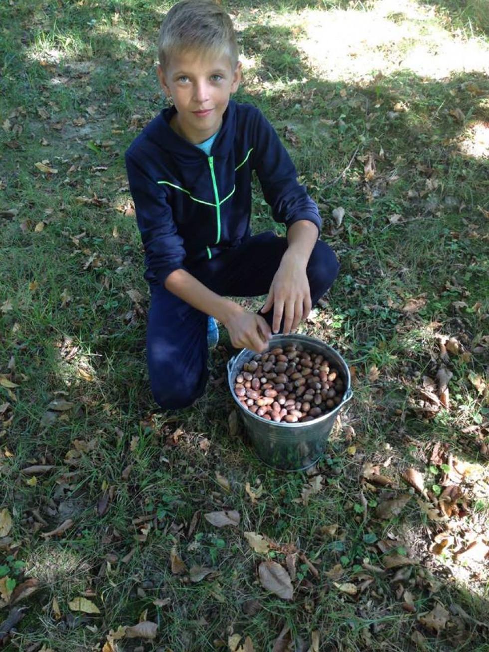 Господарство збирає жолуді на насіння, аби потім садити нові дерева